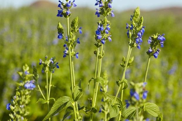チアシードの花の画像