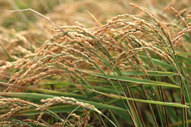 玄米の発芽毒の画像