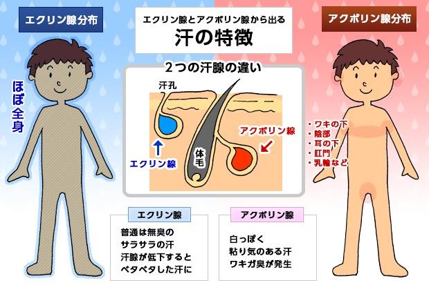 エクリン腺とアポクリン腺から出る汗と特徴